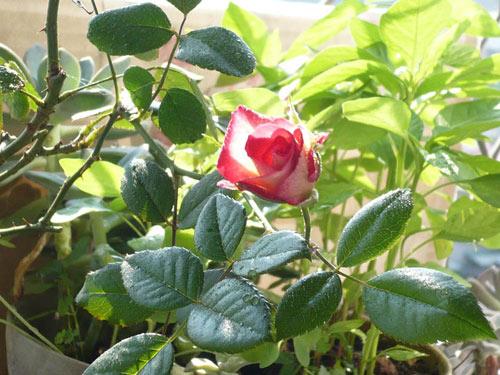 rose_0092_090610.jpg