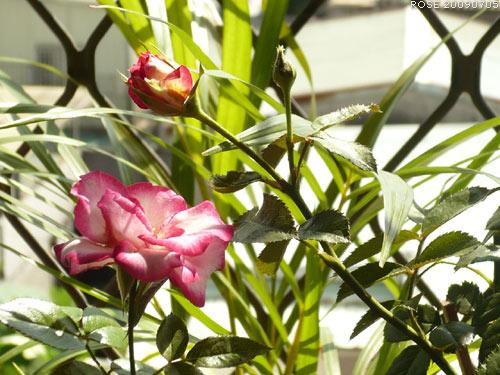rose_0115_090705.jpg