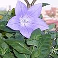kikyo_0058_090629.jpg
