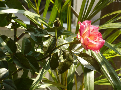 rose_0118_090706.jpg