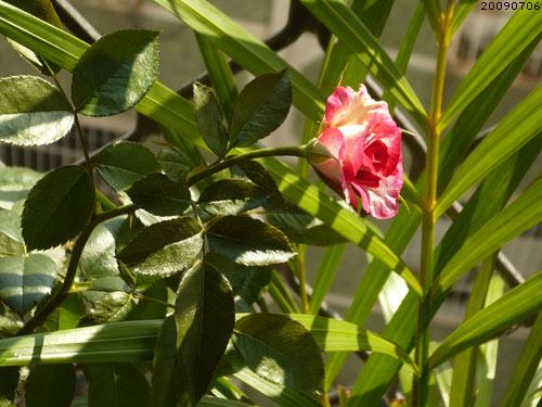 rose_0119_090706.jpg