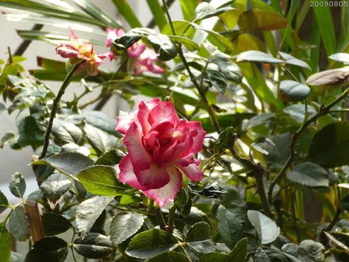 rose_0138_090805.jpg