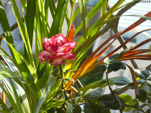 rose_0145_090825.jpg