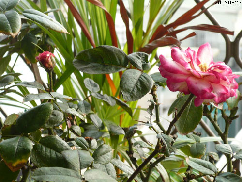 rose_0151_090827.jpg