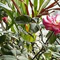 玫瑰0151_090827