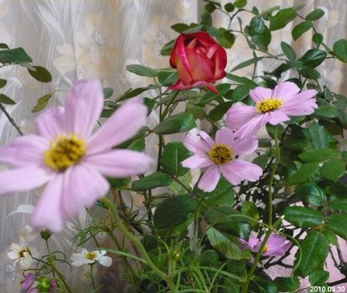 玫瑰&波斯菊 20100330
