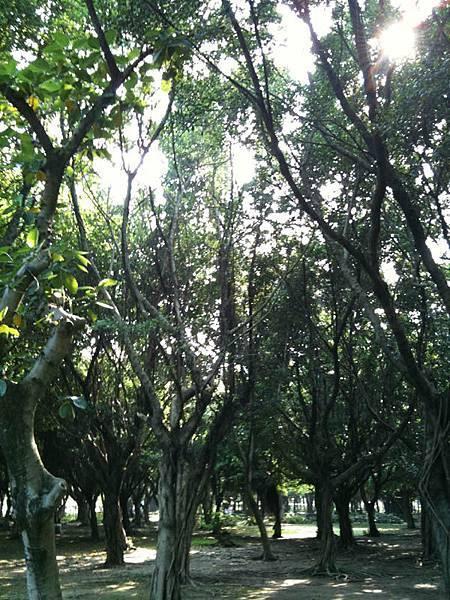 大安森林-樹
