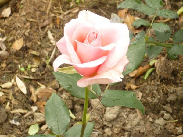 玫瑰 P1010003