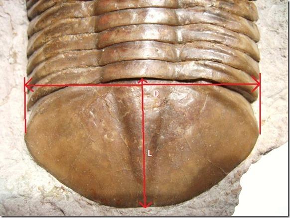 Subasaphus_laticaudatus_Pygidium