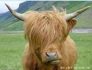 南非有一種牛長得超像周杰倫-1