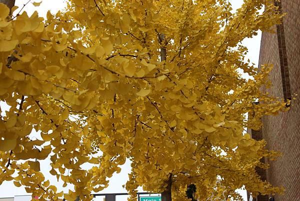 金色銀杏在米德蘭4.JPG
