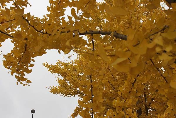 金色銀杏在米德蘭5.JPG