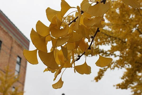 金色銀杏在米德蘭6.JPG
