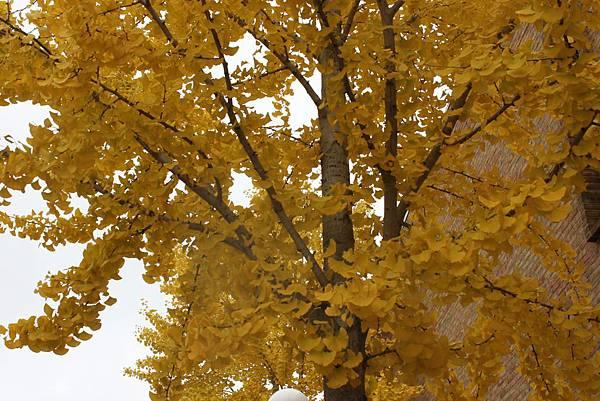 金色銀杏在米德蘭8.JPG