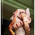 玉米蛇的拜訪