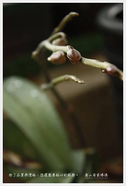 蘭花終於茂花梗了