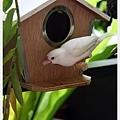 白文鳥的夏日造訪