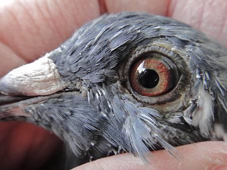 2012-149613黑斑白羽_米衛9613鴿眼