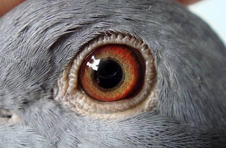 2011-998428斑母(03-648直女)鴿眼
