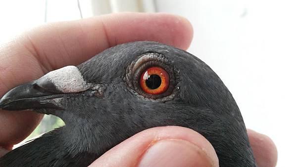 開發676鴿眼