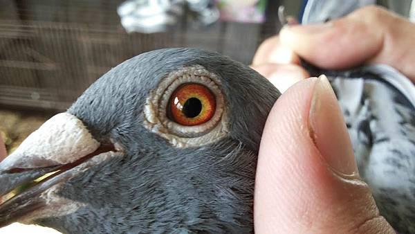 藍星0857鴿眼