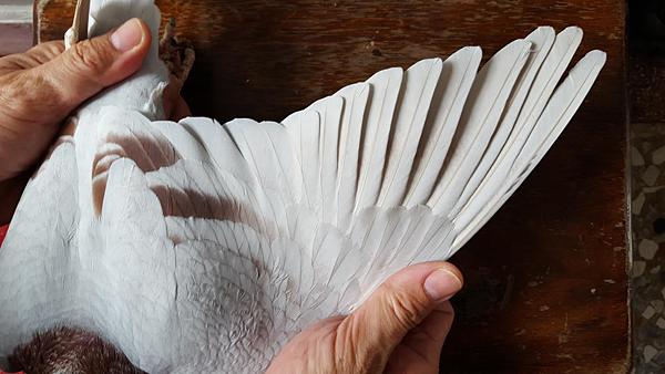 銀900鴿翅