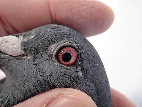 金母23號(2014-933023灰白羽)鴿眼03