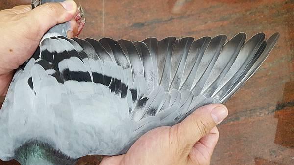 金母526(北海春5關39位)_2010-282526灰_鴿翅.jpg