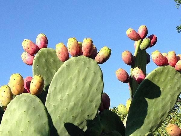 prickly-pear-555530_1280.jpg