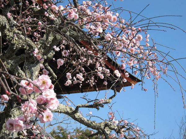 天龍寺的梅花