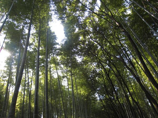 看了就覺得很涼爽的嵯峨野竹林步道