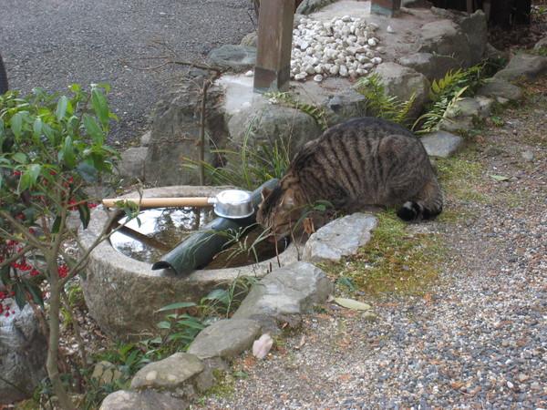 御髮神社喝水的貓咪