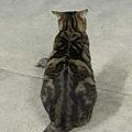 貓咪的背影也好可愛