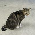 北角碼頭的貓咪