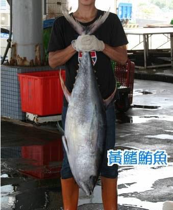 黃鰭鮪魚2.jpg