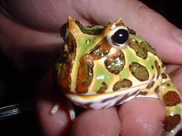 鐘角蛙-牛屎蛙