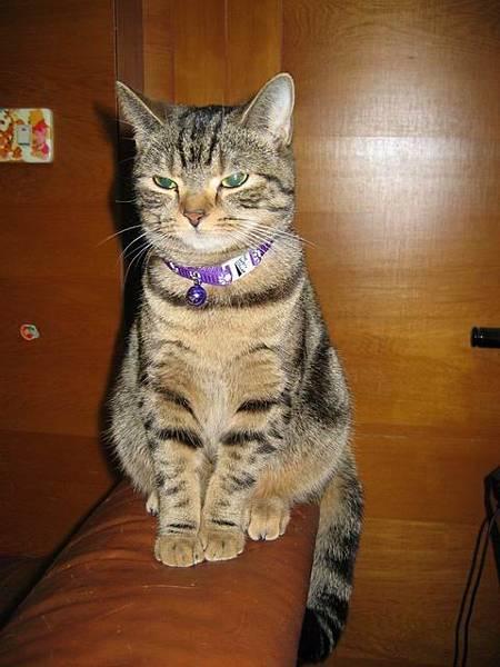 美短母貓-麵麵