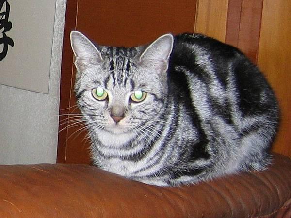 美短母貓-球球