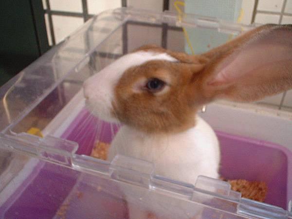 兔子-肉圓