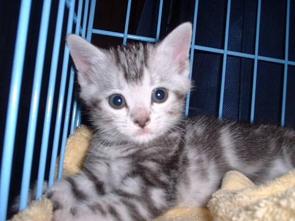 美短母貓-豆子