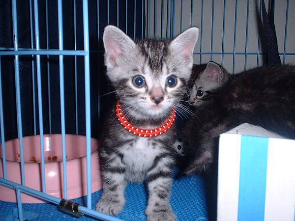 美短公貓-紅項圈