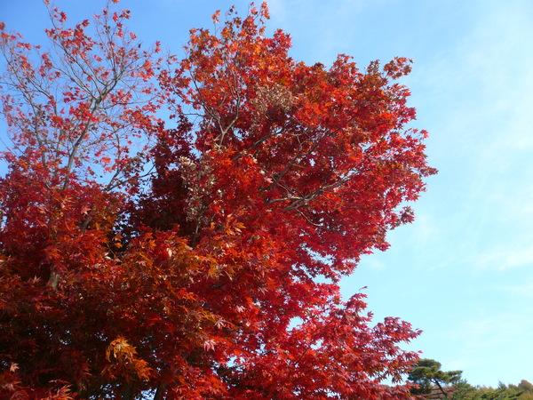 楓樹真的滿美