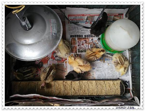 小雞-2.jpg