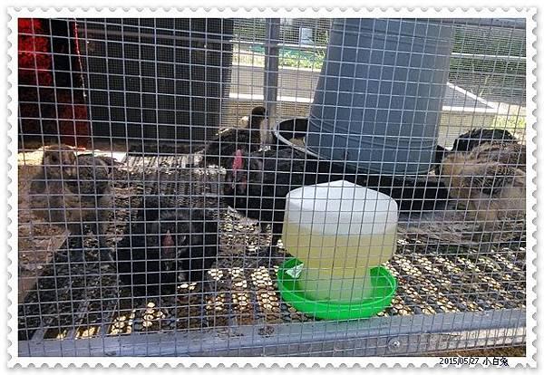 小雞-4.jpg