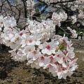 05_Sakura
