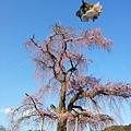 06_Sakura