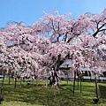 07_Sakura