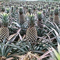Pineapple_field.jpg