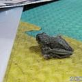 樹蛙02.jpg