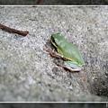 樹蛙w.jpg